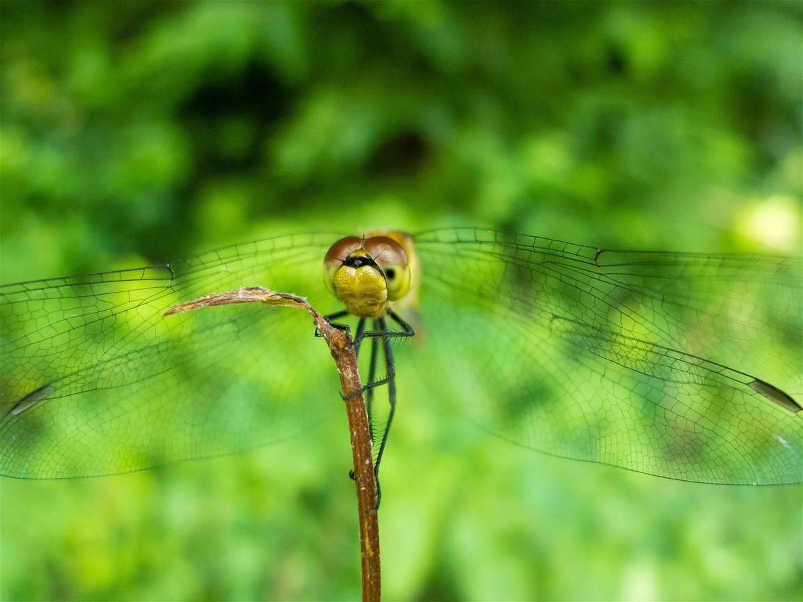 Sympetrum frequens(アキアカネ)の画像